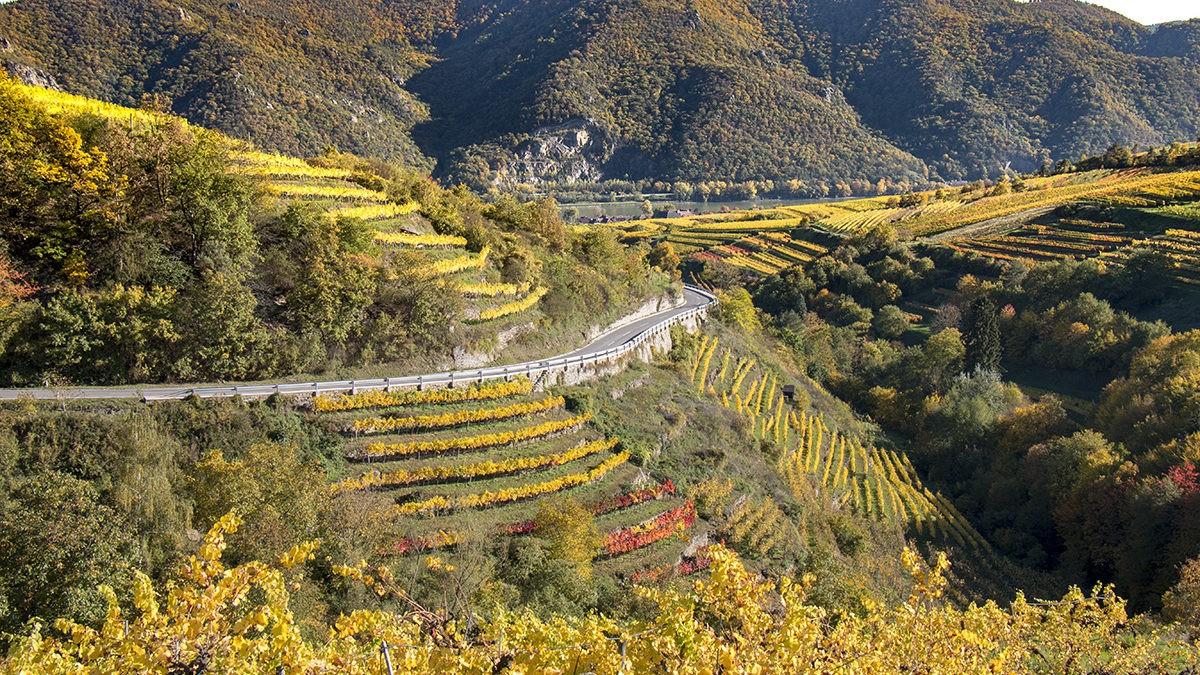 Jak filoksera zmieniła branżę winiarską w Austrii?